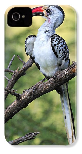 Red-billed Hornbill IPhone 4 Case by Tony Beck