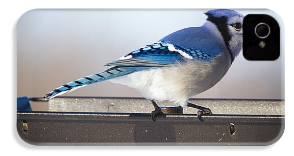 Blue Jay With A Mouth Full IPhone 4 Case by Ricky L Jones
