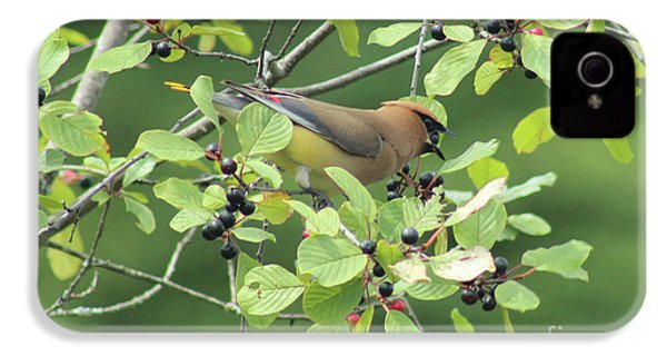 Cedar Waxwing Eating Berries IPhone 4 Case by Maili Page