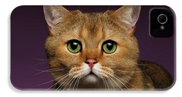 Closeup Golden British Cat With  Green Eyes On Purple  IPhone 4 / 4s Case by Sergey Taran