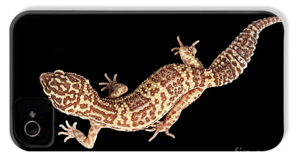 Closeup Leopard Gecko Eublepharis Macularius Isolated On Black Background IPhone 4 Case by Sergey Taran