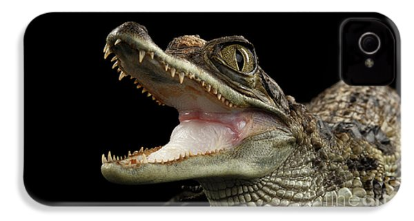 Closeup Young Cayman Crocodile, Reptile With Opened Mouth Isolated On Black Background IPhone 4 Case by Sergey Taran