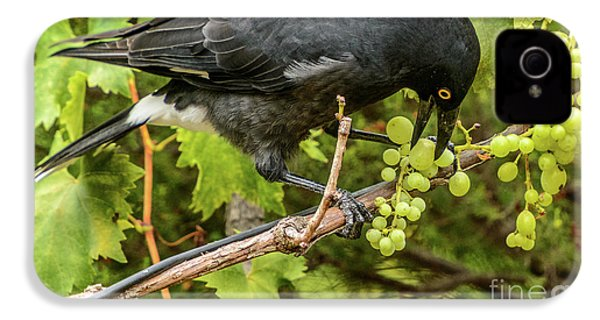 Currawong On A Vine IPhone 4 Case