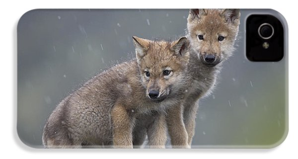 Gray Wolf Canis Lupus Pups In Light IPhone 4 Case