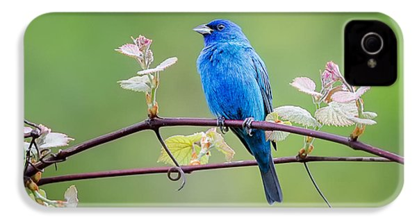 Indigo Bunting Perched IPhone 4 Case by Bill Wakeley
