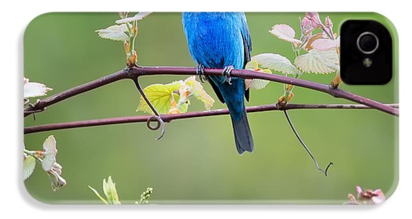 Indigo Bunting Perched Square IPhone 4 Case by Bill Wakeley