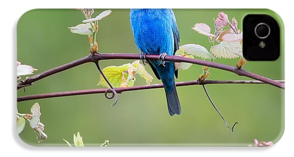 Indigo Bunting Perched Square IPhone 4 / 4s Case by Bill Wakeley
