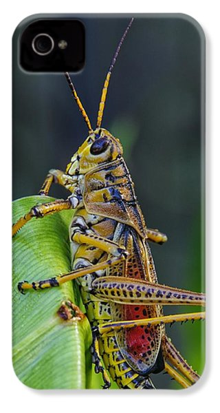 Lubber Grasshopper IPhone 4 Case by Richard Rizzo
