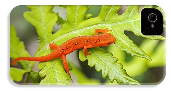 Red Eft Eastern Newt IPhone 4 Case by Christina Rollo