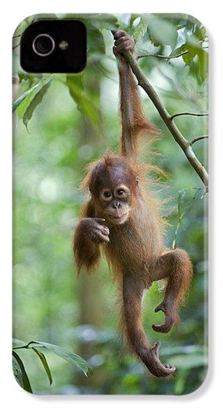 Sumatran Orangutan Pongo Abelii One IPhone 4 / 4s Case by Suzi Eszterhas
