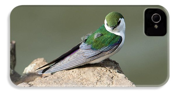 Violet-green Swallow IPhone 4 Case by Mike Dawson