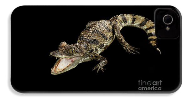 Young Cayman Crocodile, Reptile With Opened Mouth And Waved Tail Isolated On Black Background In Top IPhone 4 Case by Sergey Taran
