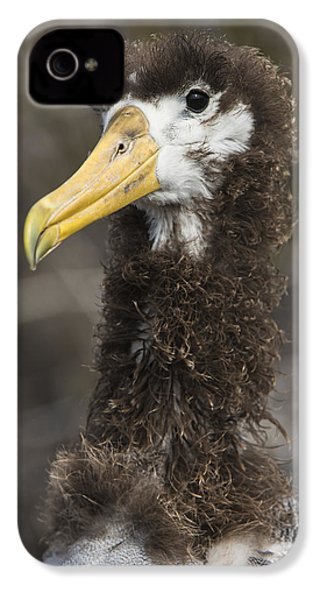 Waved Albatross Molting Juvenile IPhone 4s Case by Pete Oxford