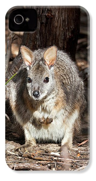 Tammar Wallaby (macropus Eugenii IPhone 4s Case by Martin Zwick