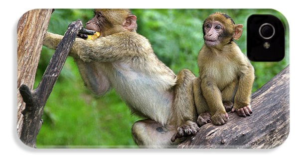 Barbary Macaques IPhone 4s Case by Nigel Downer