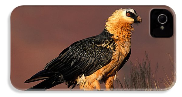 Bearded Vulture Or Lammergeier IPhone 4s Case by Nigel Dennis