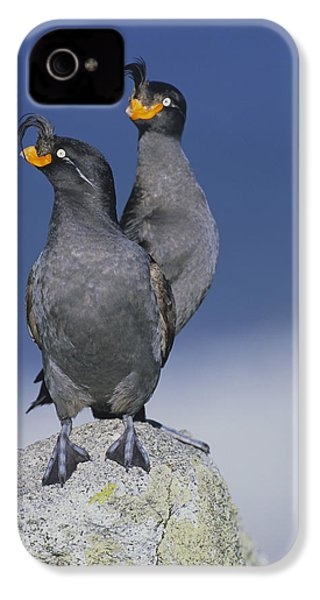 Crested Auklet Pair IPhone 4s Case by Toshiji Fukuda