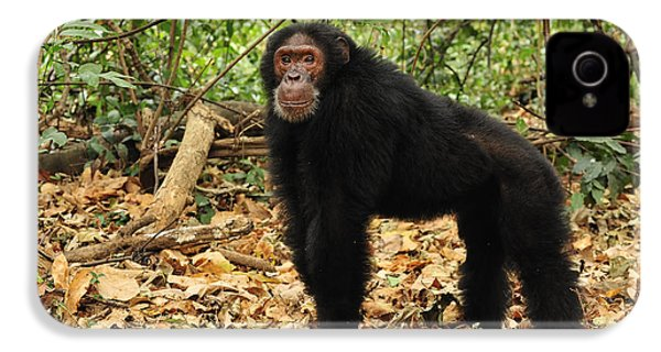 Eastern Chimpanzee Gombe Stream Np IPhone 4s Case by Thomas Marent