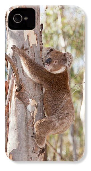 Koala Bear IPhone 4s Case by Ashley Cooper