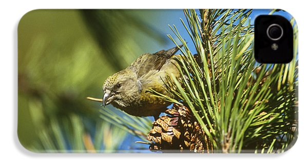 Red Crossbill Eating Cone Seeds IPhone 4s Case by Paul J. Fusco