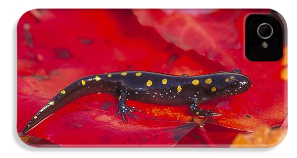 Spotted Salamander IPhone 4s Case by Paul J. Fusco