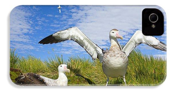 Wandering Albatross Courting  IPhone 4s Case by Yva Momatiuk John Eastcott