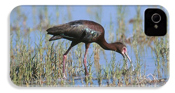 White-faced Ibis IPhone 4s Case by Anthony Mercieca