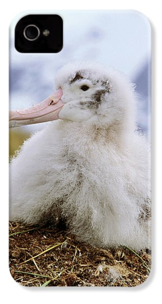 Young Wandering Albatross (diomendea IPhone 4s Case by Martin Zwick