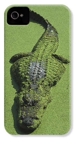 American Alligator Alligator IPhone 4s Case by Heidi & Hans-Juergen Koch