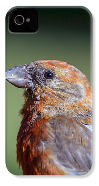 Red Crossbill IPhone 4s Case by Derek Holzapfel