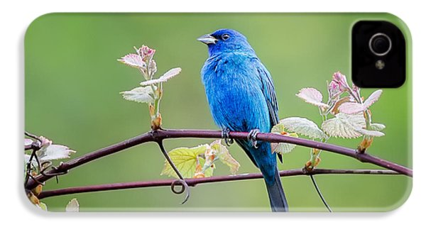 Indigo Bunting Perched IPhone 4s Case by Bill Wakeley