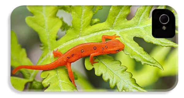 Red Eft Eastern Newt IPhone 4s Case by Christina Rollo