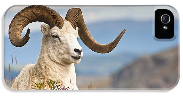 Adult Dall Sheep Ram Resting IPhone 5 / 5s Case by Michael Jones