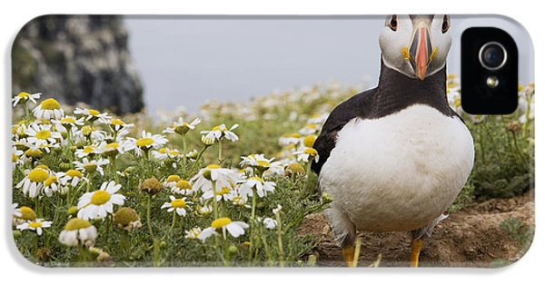 Atlantic Puffin In Breeding Plumage IPhone 5 Case by Sebastian Kennerknecht