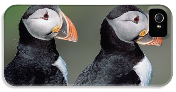 Atlantic Puffins In Breeding Colors IPhone 5 Case by Yva Momatiuk and John Eastcott