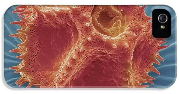 Chicory Pollen Grain IPhone 5 Case