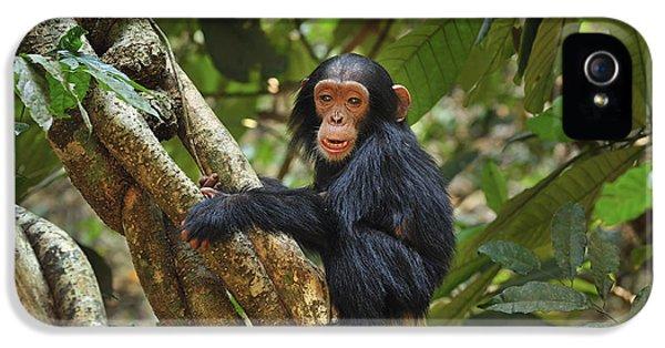 Chimpanzee Baby On Liana Gombe Stream IPhone 5 / 5s Case by Thomas Marent
