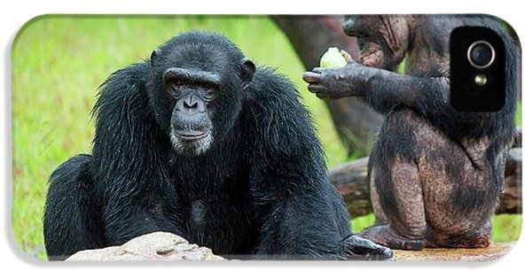 Chimpanzees IPhone 5 / 5s Case by Pan Xunbin