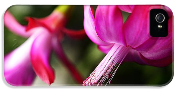 Christmas Cactus In Bloom IPhone 5 Case by Thomas R Fletcher