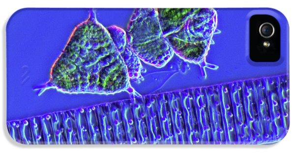 Diatoms And Desmids IPhone 5 Case by Marek Mis