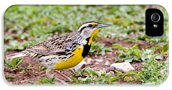 Eastern Meadowlark Sturnella Magna IPhone 5 / 5s Case by Gregory G. Dimijian
