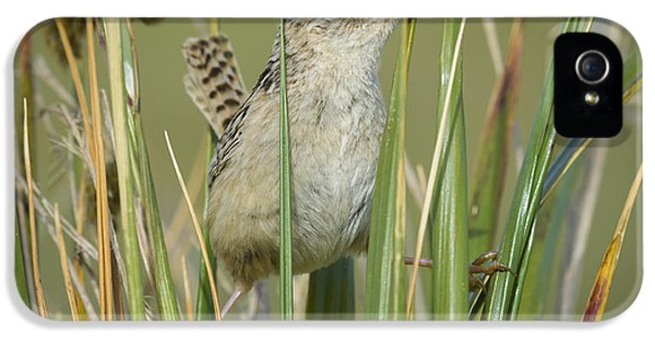 Grass Wren IPhone 5 Case by John Shaw