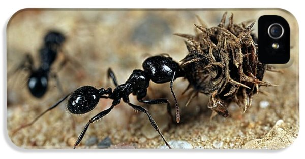 Harvester Ant IPhone 5 Case by Frank Fox