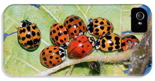 Hibernating Harlequin Ladybirds IPhone 5 Case by Dr. John Brackenbury