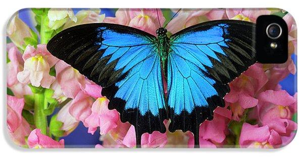 Mountain Blue Swallowtail Of Australia IPhone 5 Case by Darrell Gulin