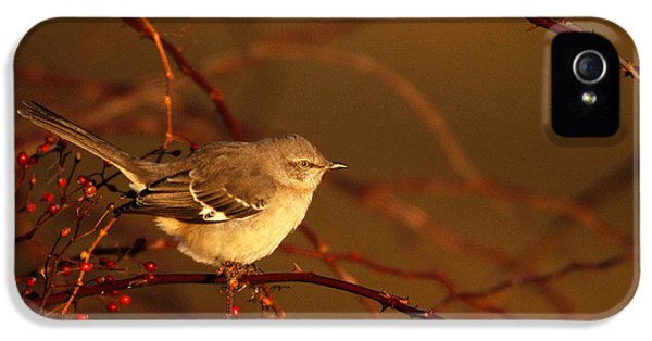 Northern Mockingbird Mimus Polyglottos IPhone 5 Case by Paul J. Fusco