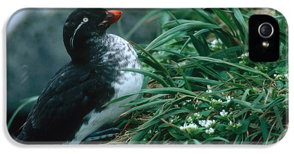Auklets iPhone 5 Case - Parakeet Auklet by Art Wolfe