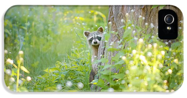 Raccoon iPhone 5 Case - Peek A Boo by Carrie Ann Grippo-Pike