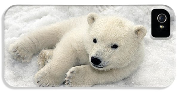 Polar Bear Cub Playing In Snow Alaska IPhone 5 / 5s Case by Mark Newman