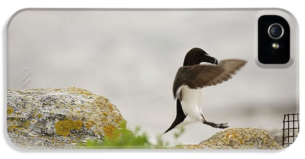 Razorbill iPhone 5 Case - Razorbill Alca Torda, A Big Diving Bird by Jose Azel